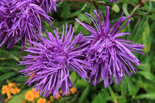 rays aster aster blossom