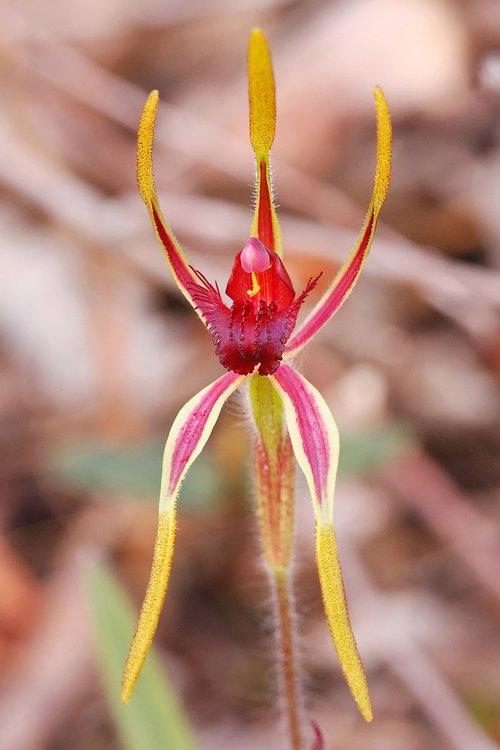 reaching spider  orchid  western australia