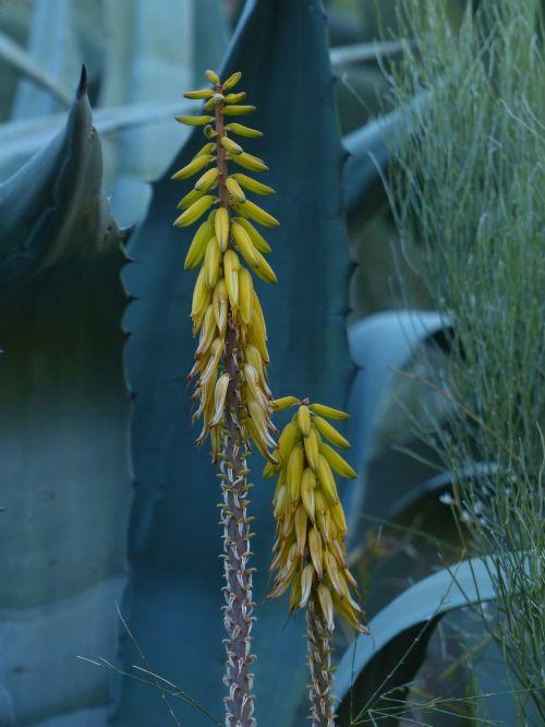 real aloe blossom bloom