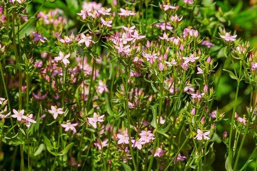 real centaury  centaurium erythraea  bitter herb