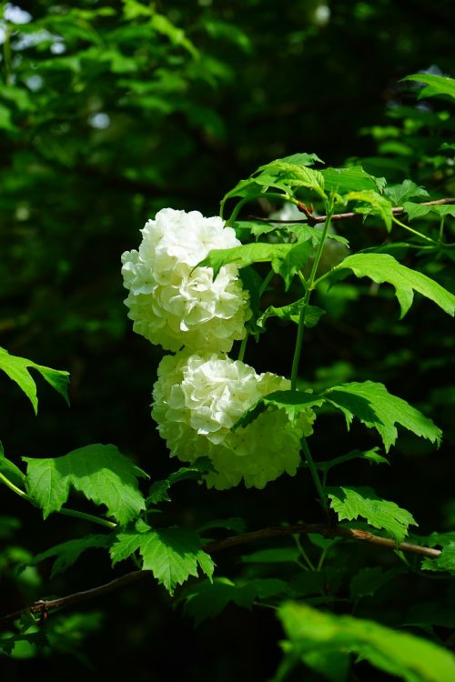 real snow ball bush flowers