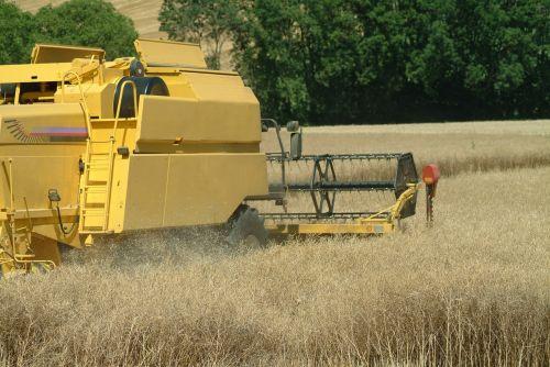 reap wheat field