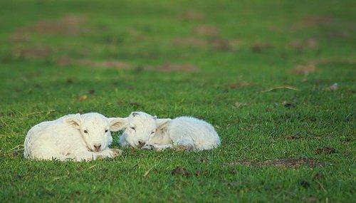 reborn  lambs  lamb