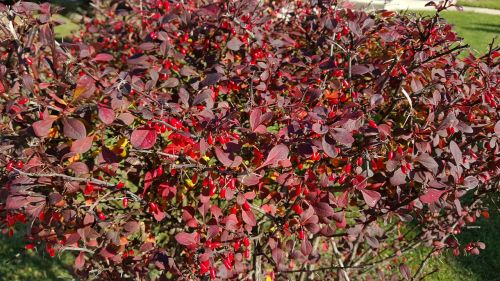 red autumn barberry