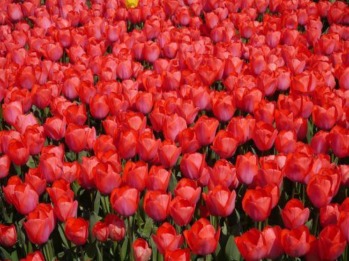 red tulip yokosuka