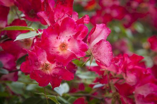 raudona,gėlė,gamta,grožis,gražus,žalias