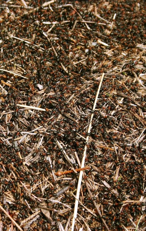 red forest ants anthill