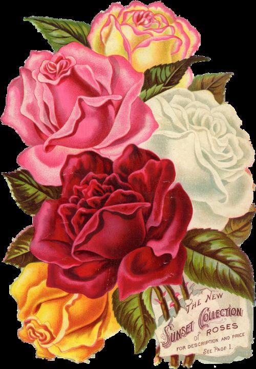 red rose vintage