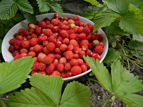 red fragaria vesca fruit