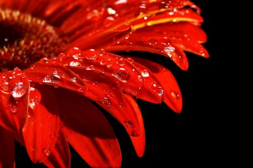 red flower drop