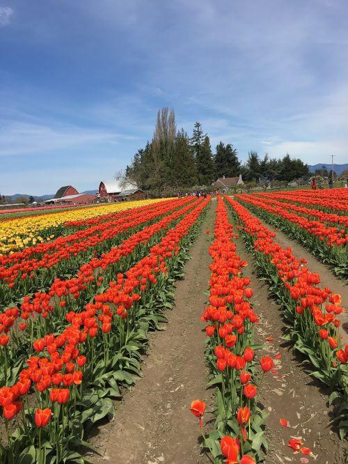 raudona,geltona,tulpės,tulpių miestas,Vašingtonas,spalvinga,gyvas,lauke,pavasaris