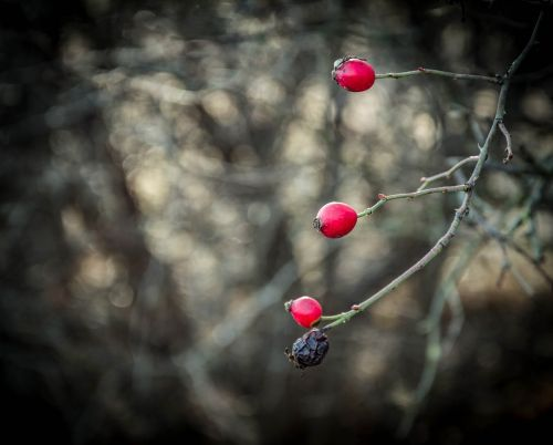red berry rosehips
