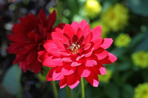 red flower dahlia