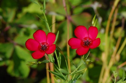 raudona,augalas,gėlė,žiedas,žydėti,raudonos gėlės,raudona gėlė,flora,gamta,sodas,Uždaryti,trapi