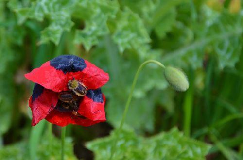 raudona,gėlė,Natur,pavasaris,gėlių,vasara,žydėti,natūralus,augalas,žiedas,žalias,šviežias,sodas,žydi,žiedlapis,spalvinga,sodininkystė,žolė,kraštovaizdis