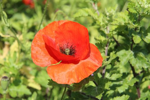 red  poppy  definition