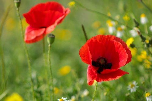 red  red poppy  poppy