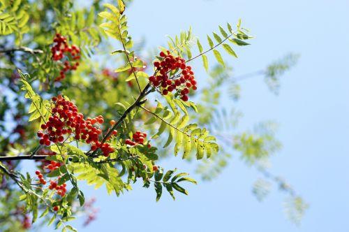red rowan berry rowan