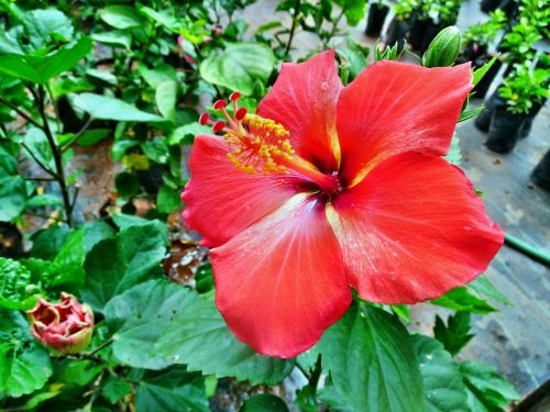 red color hibiscus