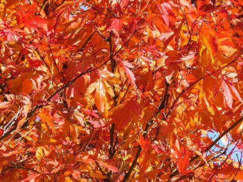 raudona,lapai,medis,ruduo