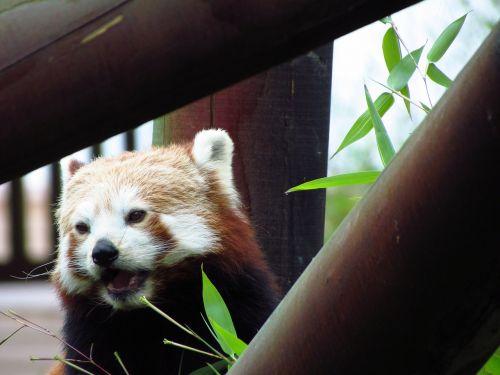 red panda red panda