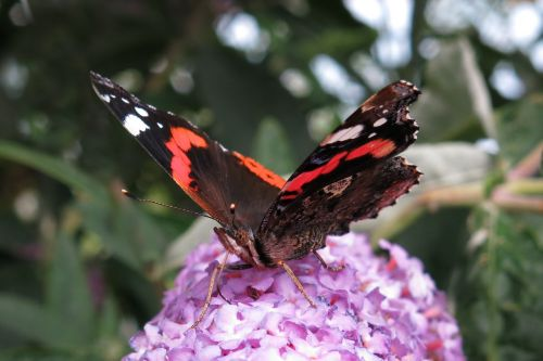 red admiral butterfly edelfalter