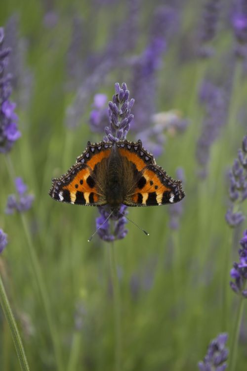 red admiral butterfly lavender