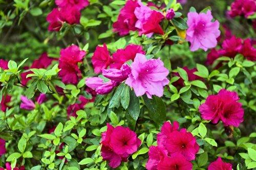 red and pink azaleas  blossoms  azalea