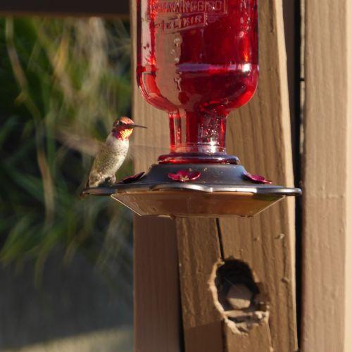 Red Anna's Hummingbird Flying