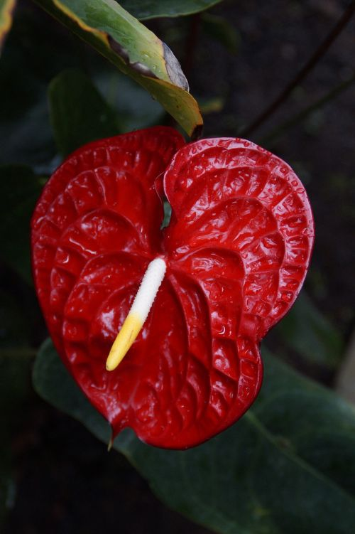 red anthurie anthurium red