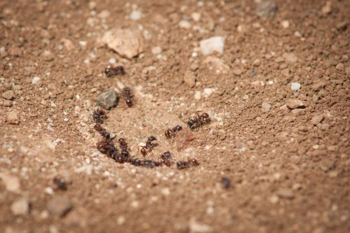 Red Ants From Colony