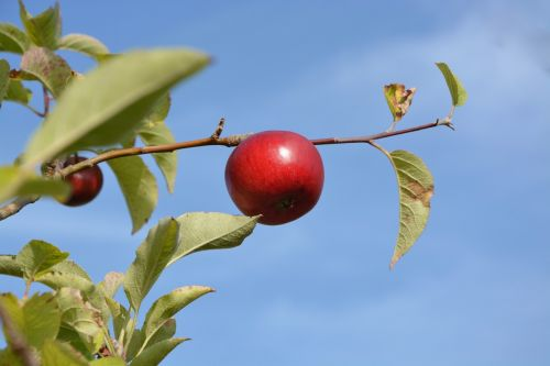 red apple orchard fruit
