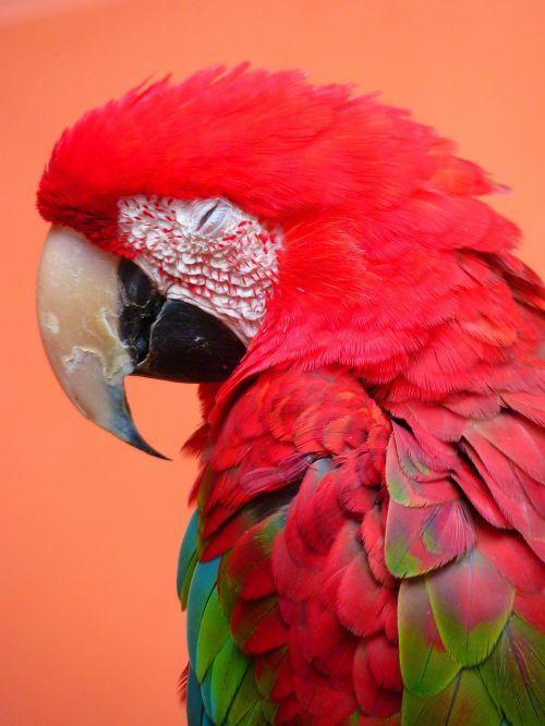 red ara ara erythrocephala parrot
