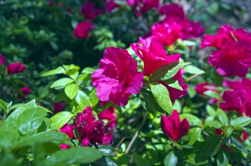 red azalea  blossoms  azalea