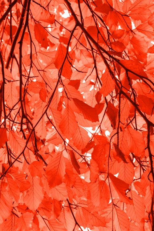 Red Beech Leaves