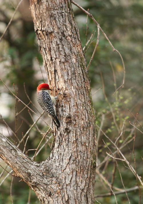 red bellied woodpecker bird wildlife