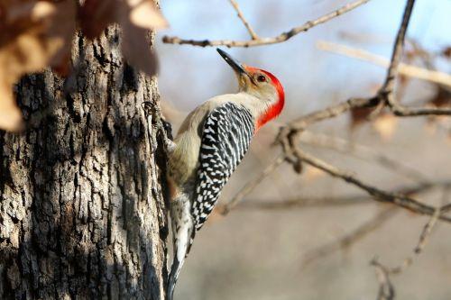 Red-bellied Woodpecker In Fall