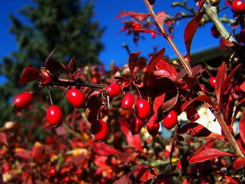 red berries fall harvest sorrel barberries