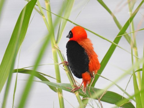 red bishop  wildlife  bird