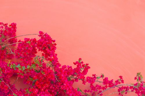 Red Bougainvillea And The Wall