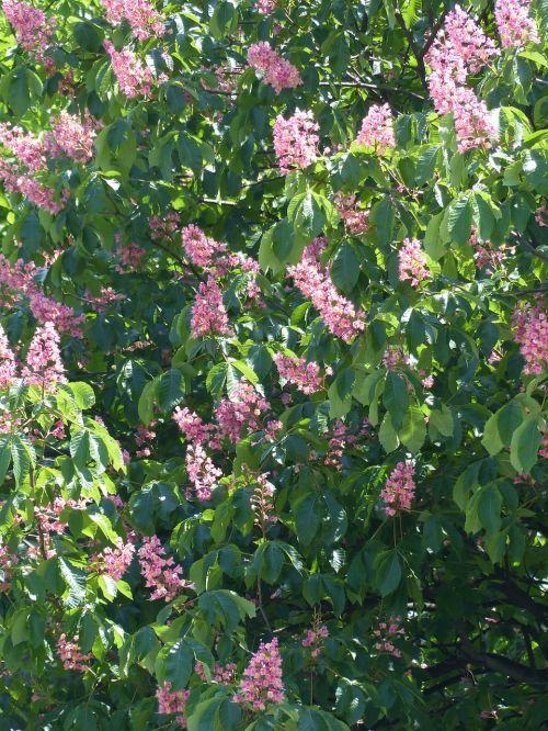 red buckeye chestnut tree tree