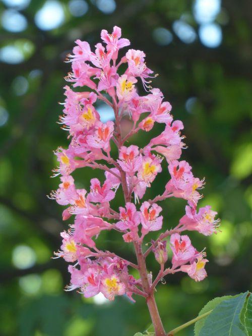 red buckeye inflorescence chestnut tree