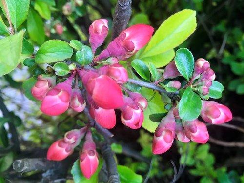 red buds  bush  spring