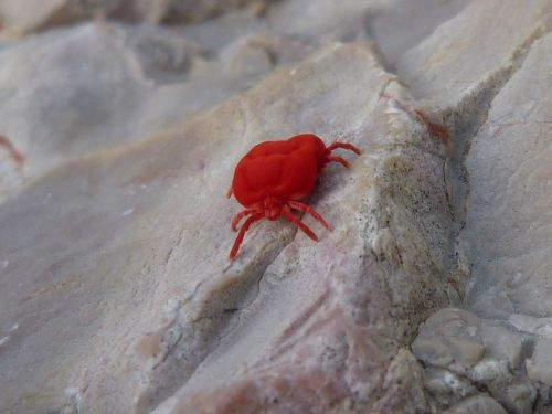 red bug insect critter rock