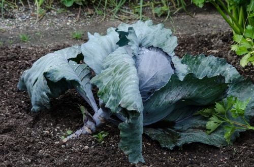 red cabbage cabbage vegetables