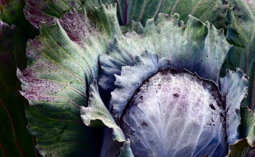 red cabbage blue cabbage kohl
