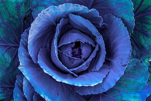 red cabbage  kohl  plant