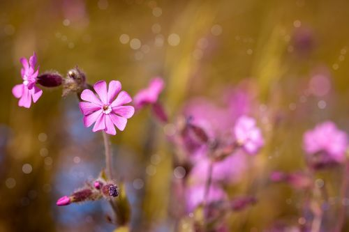 red campion flower pink