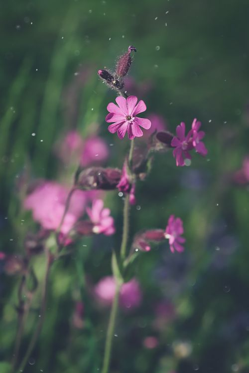 red campion heath orchid blossom