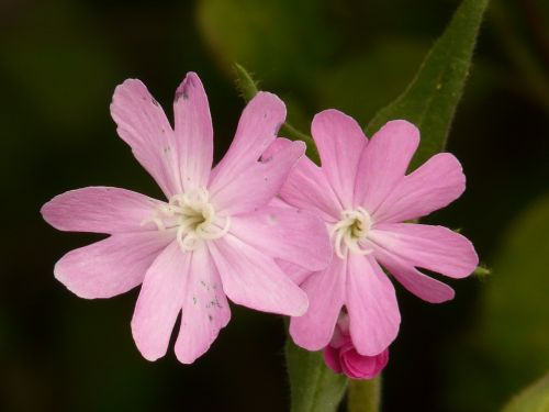 red campion campion flower